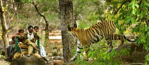 chitwan_tiger_female