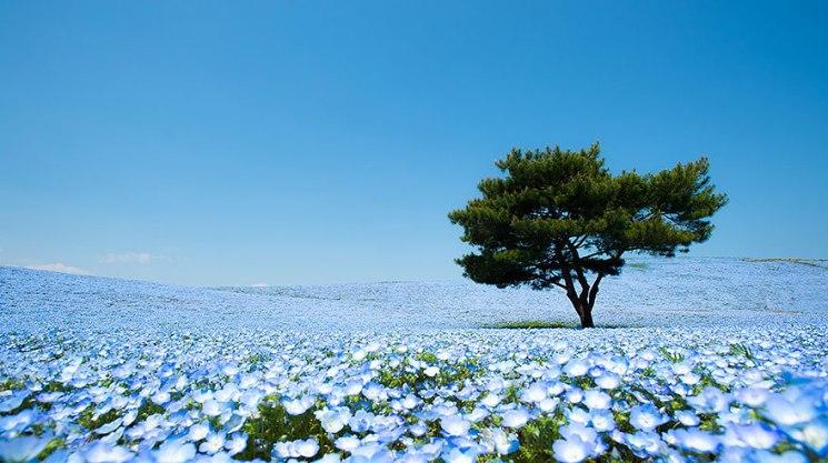 nemophilas-field-hitachi-seaside-park-1
