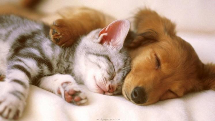 sleep-tight-cuddling-friends-kitten-puppy-sleeping